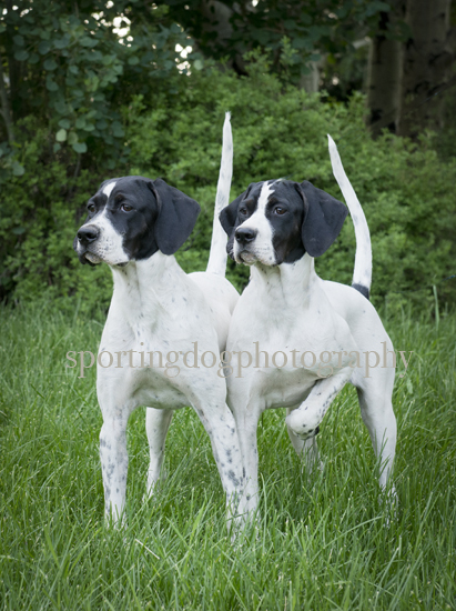 5 month old Elhew Puppies